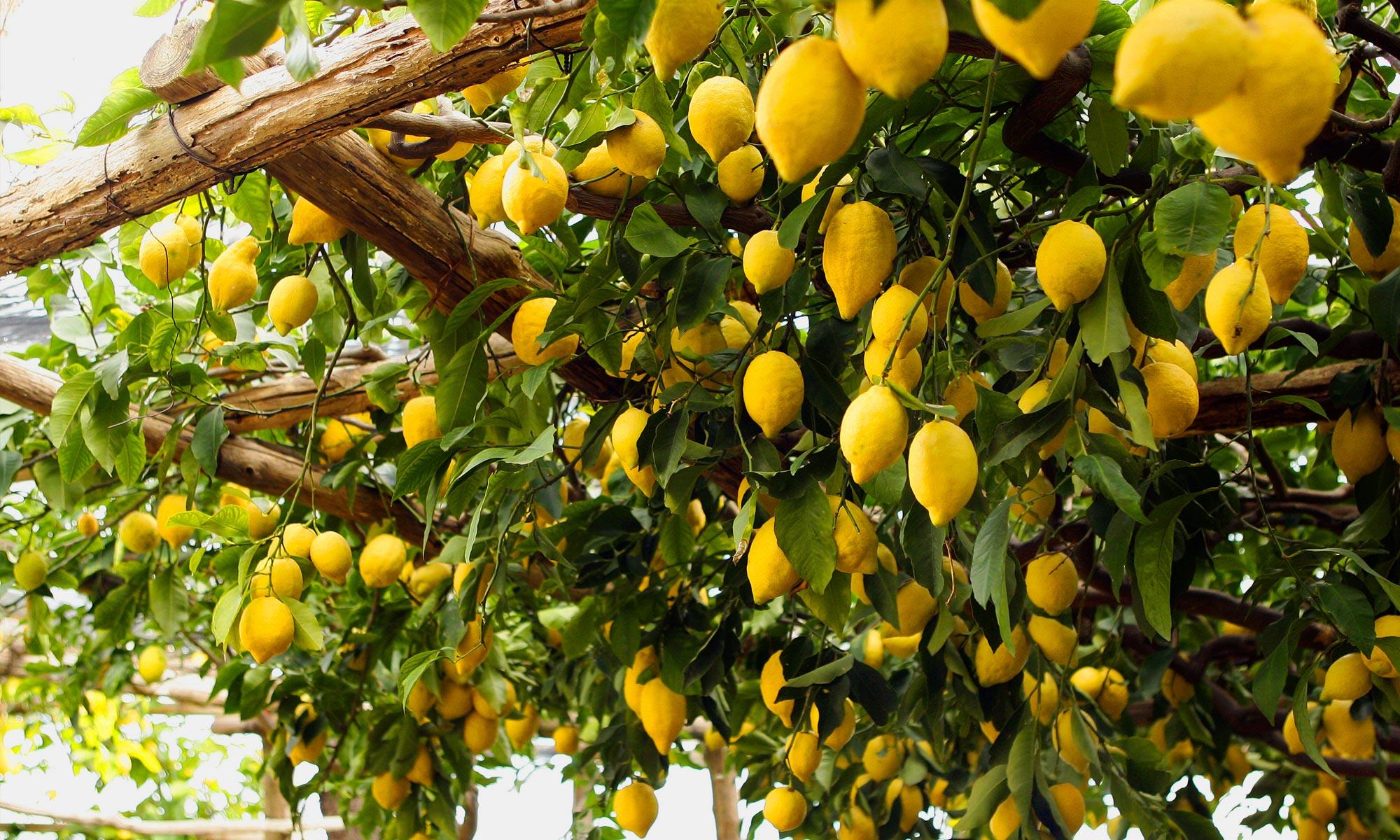 Blog silenzio cantatore amalfi ieri e oggi da for Acquistare piante di agrumi